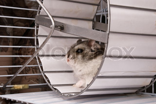 Dwarf hamster in a wheel