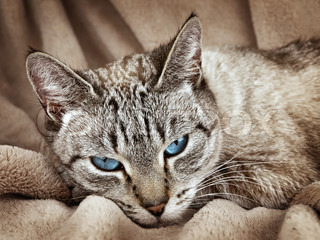 Cat with blue eyes over the beige