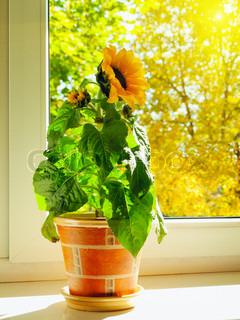 solsikke i vindueskarmen mod solrig efterårsdag