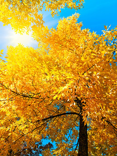 bright autumn golden tree in sunny day over blue sky