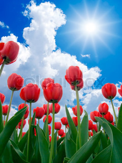 Red tulips on blue sky background.
