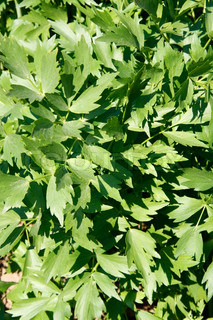 Close-up of a lovage bush in the garden