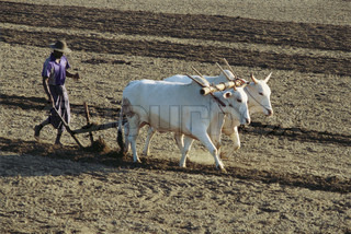 ©Laurence Mouton/AltoPress/Maxppp ; Sri Lankan farmer plowing field with yoked zebu