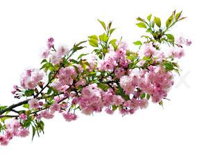Pink blomster på hvid baggrund .
