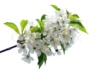Flowers of cherry isolated on white background.
