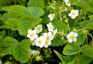 Strawberry flowering on a farm in the spring