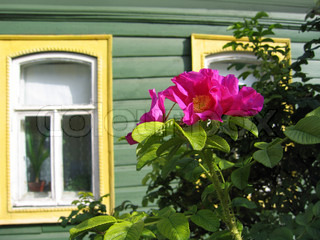flowers of a dog rose on and window of the wooden house
