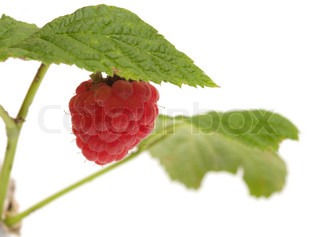 Raspberries on a branch close-up isolated on a white background.