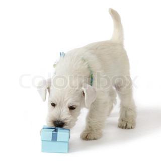 white schnauzer puppy