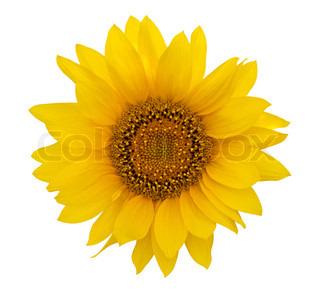 Gelbe Sonnenblume isoliert auf weißem Hintergrund