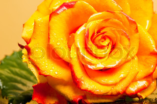 yellow rose isolated on orange background