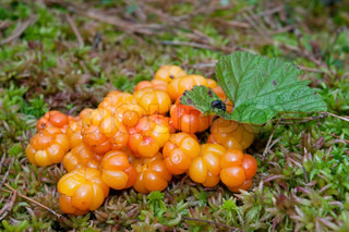 Close-up of an arctic cloudberry