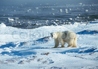 ©Alain Pons/AltoPress/Maxppp ; Polar Bear (Ursus maritimus) standing in snowy landscape near edge of water, looking at camera