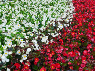 Set of red and white flowers in the flowerbed