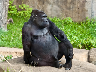 gorilla - the most harmless of the Apes