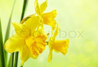 Billede af 'påskelilje, påske, baggrund'