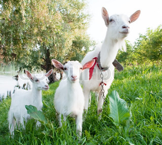 Goat with kids on a white background