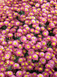 Smuk blomst af en krysantemum