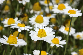 Beautiful flowers of a wild field camomile