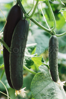 ©Laurence Mouton/AltoPress/Maxppp ; Cucumbers growing in garden, close-up