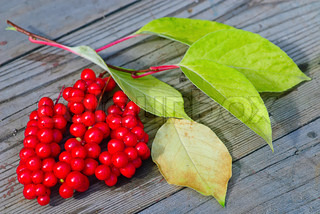 viburnum shrub fragment with red berries