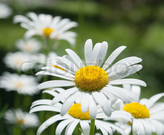 White camomiles on a meadow