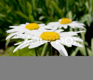 White camomile on a flower bed