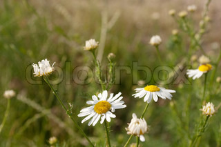 Medicinal camomile on a meadow