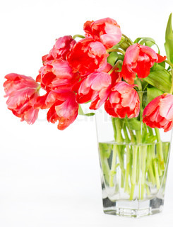beautiful red tulips in a glass vase on white