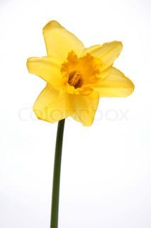 Billede af 'påskelilje, gul, påske'