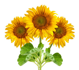 The beautiful sunflowers isolated on a white background