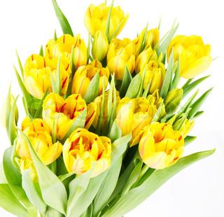 friske gule tulipan blomster