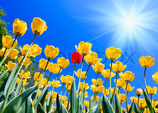 yellow tulips against the blue sky