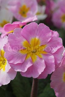 Plant anvendes til jord og have udsmykning .