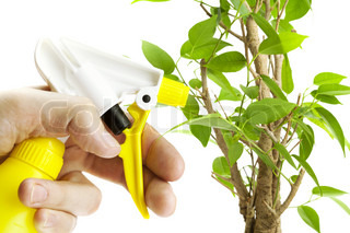 Ficus watered from a spray bottle isolated on white