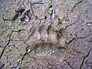 traces small bear and wild boar on dry land