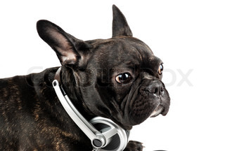 dog in earpiecess on a white background