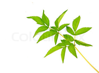 sheet of the plant on white background