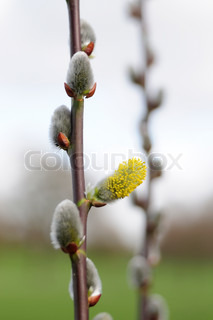 Image of 'willow, pussy, plant'