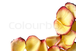 Yellow rose petals border isolated on white background with clipping path