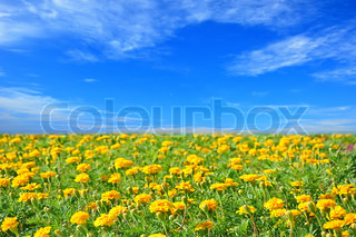 Field of beautiful marigold flowers and perfect blue sky in sunny summer day