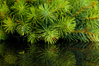 branch of Christmas tree with reflection