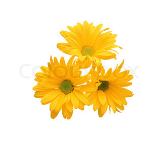 beautiful yellow chrysanthemum flower isolated on white background