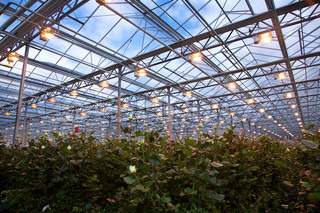 Flower cultivation in greenhouses. A hothouse with roses. Daisy flowers plants in greenhouse.