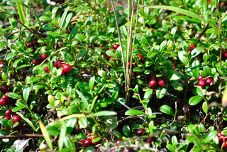 Vaccinium vitis-idaea (cowberry or lingonberry) is a short evergreen shrub in the heath family that bears edible sour fruit