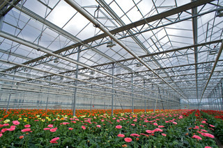 Flower cultivation in greenhouses. A hothouse with gerbers. Daisy flowers plants in greenhouse.