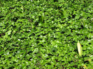 green ivy leaves in sunlight, background, texture