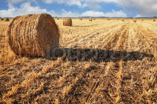 Field after harvesting. Stacks of collected wheat are left for drying under the soft sun. Sunset