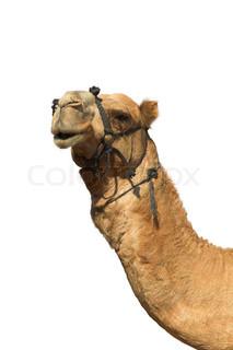 Udtryksfuldt hoved af en kamel med et bidsel på en hvid baggrund