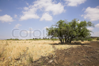 Fields with a yellow dry grass and a tree on a background of the pale cloudy sky